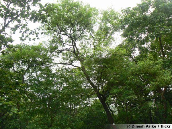 L'Acacia polyacantha est une espèce utilisé pour la production de la gomme arabique