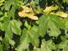 Érable champêtre,  Érable champêtre, Acer campestre