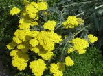 Achillée jaune, Achillée Eupatoire, Achillea filipendulina