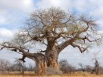 Baobab africain, Arbre bouteille, Adansonia digitata