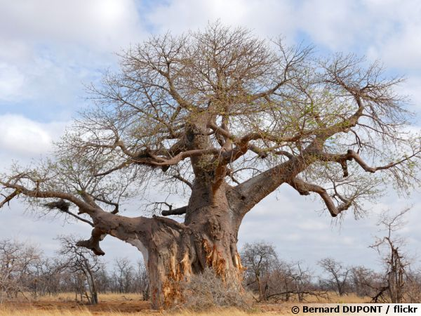 Baobab africain arbre bouteille adansonia digitata for Baobab jardin