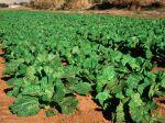L'agriculture de conservation, entre conventionnelle et bio