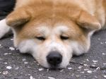 L'Akita inu, un grand chien peluche