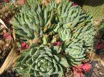 Aloés à feuilles courtes, Aloès nain, Aloe brevifolia