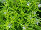 Amsonie bleue, Etoile bleue, Amsonie à larges feuilles, Amsonia tabernaemontana