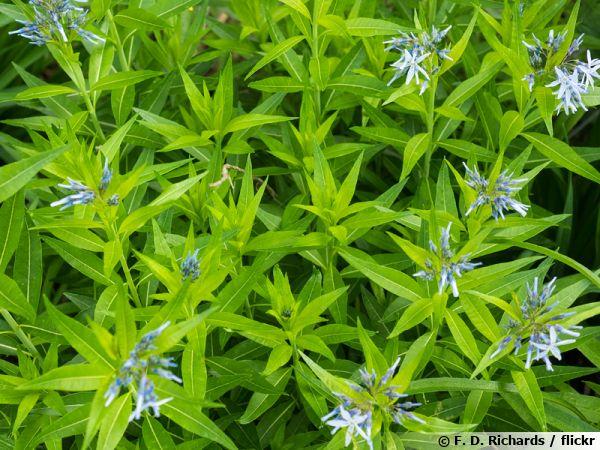 Amsonie bleue Blue Ice, Amsonia tabernaemontana