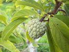Pomme cannelle, Attier, Annona squamosa
