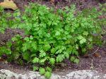 Cerfeuil cultivé, Cerfeuil commun, Anthriscus cerefolium
