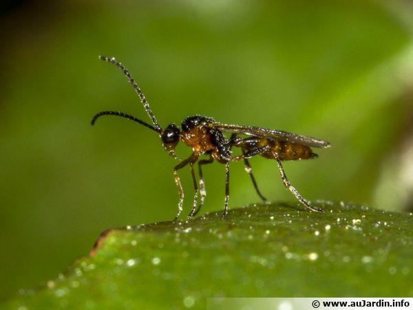 Aphidius ervi pond ses oeufs dans le corps des pucerons et les larves y feront leur développement