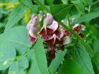 Glycine tubéreuse, Haricot-pomme de terre, Apios americana