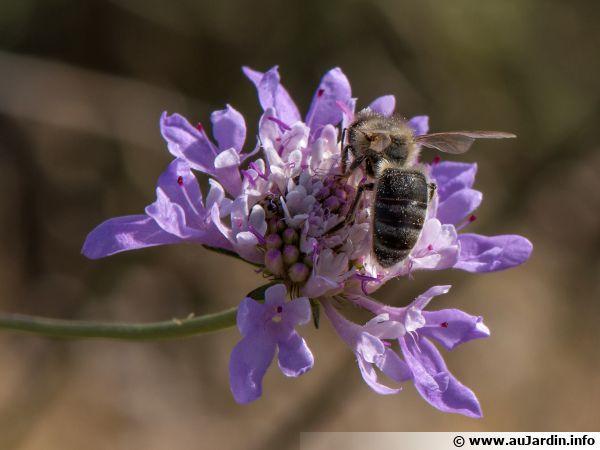 Une abeille noire sur une fleur de Scabiosa atropurpurea à Sète