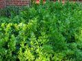 Céleri feuille, Céleri asiatique, Céleri à couper, Apium graveolens var secalinum