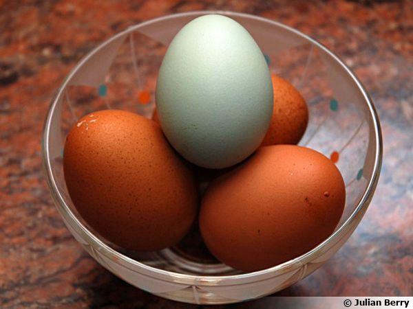 L'Araucana, une poule aux œufs verts!