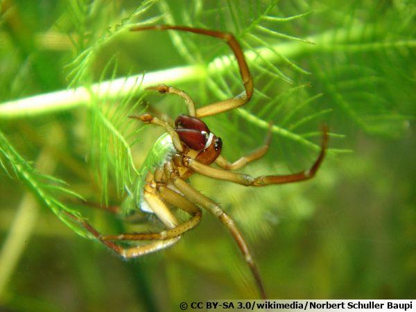 L'Argyronète, une araignée plongeuse