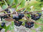 Aronie à fruits noirs, Aronia noir, Aronia melanocarpa