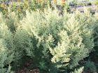 Armoise d'Afrique, Absinthe africaine, Artemisia afra