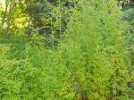 Armoise annuelle, Armoise chinoise, Absinthe douce, Gin Ghao, Artemisia annua