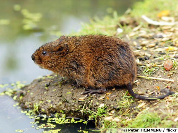 Rat d'eau, campagnol terrestre, Arvicola amphibius