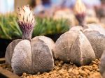 Cactus bonnet d'évêque, Astrophytum myriostigma