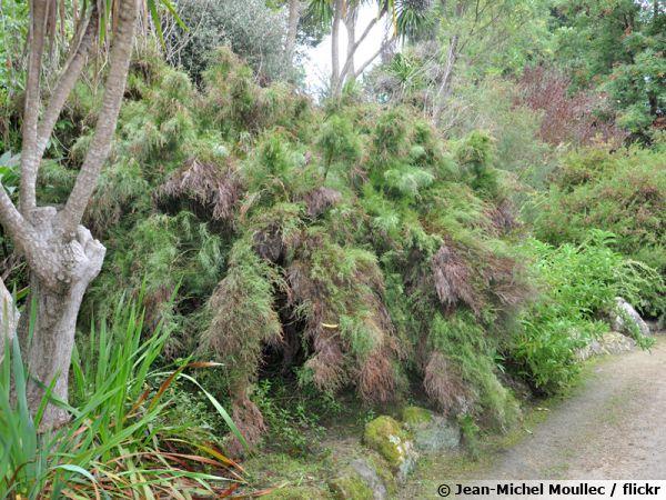 Restio australien, Baloskion tetraphyllum