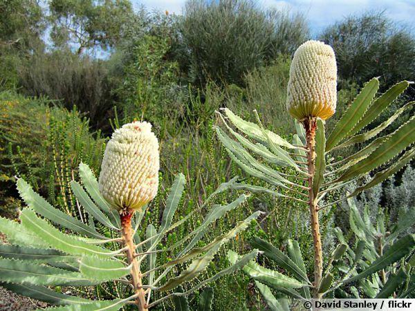 Banksia dans le sud ouest de l'Australie