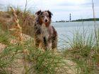 Le Berger Australien, un chien affectueux et sportif