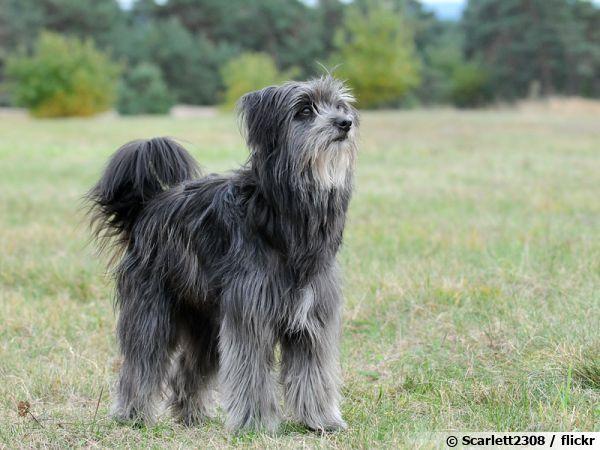 Le berger des Pyrénées, un chien fidèle
