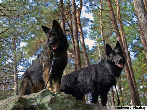Deux vieux bergers allemands