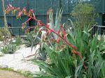 Beschornéria superbe, Lis du Mexique, Amole, Faux-yucca, Faux agave, Beschorneria yuccoides