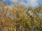 Bouleau verruqueux, Betula pendula