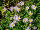 Boltonia faux aster, Aster étoilé, Boltonia fausse camomille, Boltonia asteroides