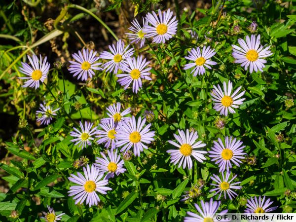 Boltonia asteroides, Boltonia faux aster, Aster étoilé, Boltonia fausse camomille
