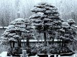 Comment prendre soin de son bonsaï en hiver?