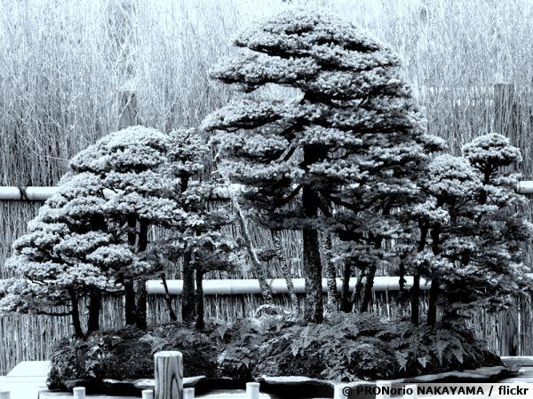 Un bonsai sous la neige