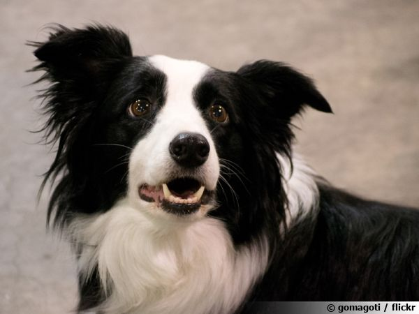 Le Border Collie, un chien de berger