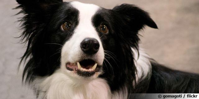 Le Border Collie, un chien de berger
