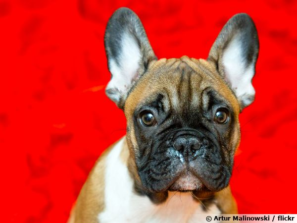 Le Bouledogue français, un chien facile