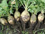 Rutabaga, Chou-navet, Brassica napus var Napobrassica 'Nadmorska'