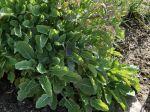 Chou de Daubenton, Chou frisé perpétuel de Daubenton, Brassica oleracea var ramosa 'Daubenton'