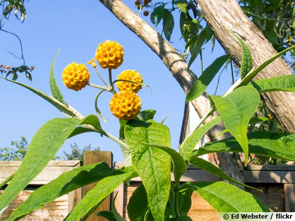 Buddleia globuleux, Arbre aux papillons globuleux, Matico, Buddleja globosa