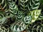 Calathéa paon, Plante paon, Calathea makoyana