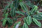 Calathéa zébré, Plante zèbre, Calathea zebrina