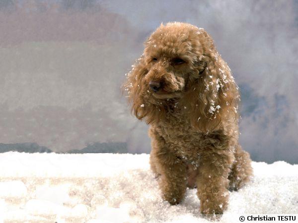 Le caniche, un chien facile à vivre