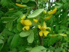 Acacia jaune, Caraganier de Sibérie, Pois de Sibérie, Caragana arborescens