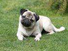 Le Carlin, un chien affectueux et joueur