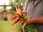 Bien choisir ses variétés de carottes