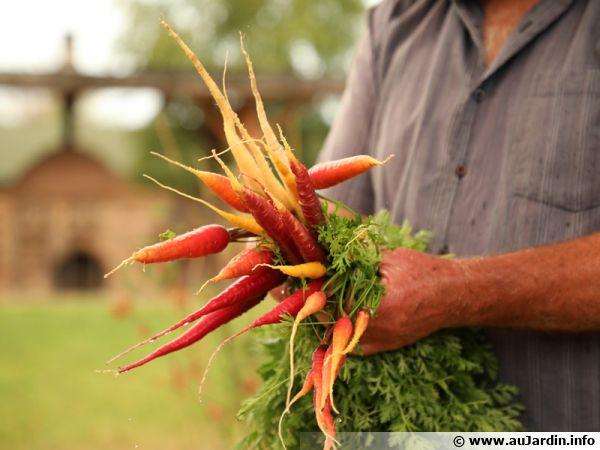 Bien choisir ses variétés de carottes...