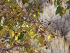 Micocoulier de Virginie, Micocoulier occidental, Celtis occidentalis