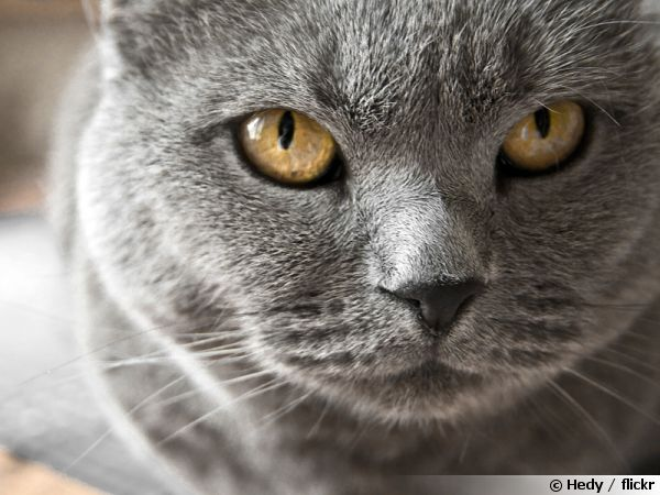 Le Chartreux, le chat par excellence