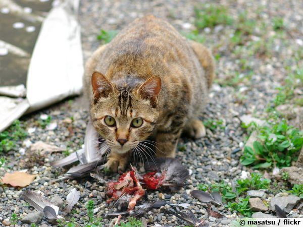 Un chat surpris dévorant sa proie, un oiseau